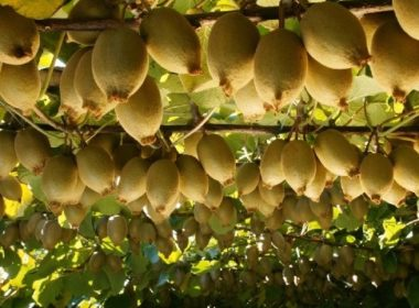 Strong global demand, coupled with Zespri's ambition to grow global sales to $4.5b by 2025, is driving demand for kiwifruit orchards which are selling at record prices. Photo tes.com
